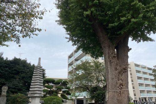 泉福寺 イチョウ